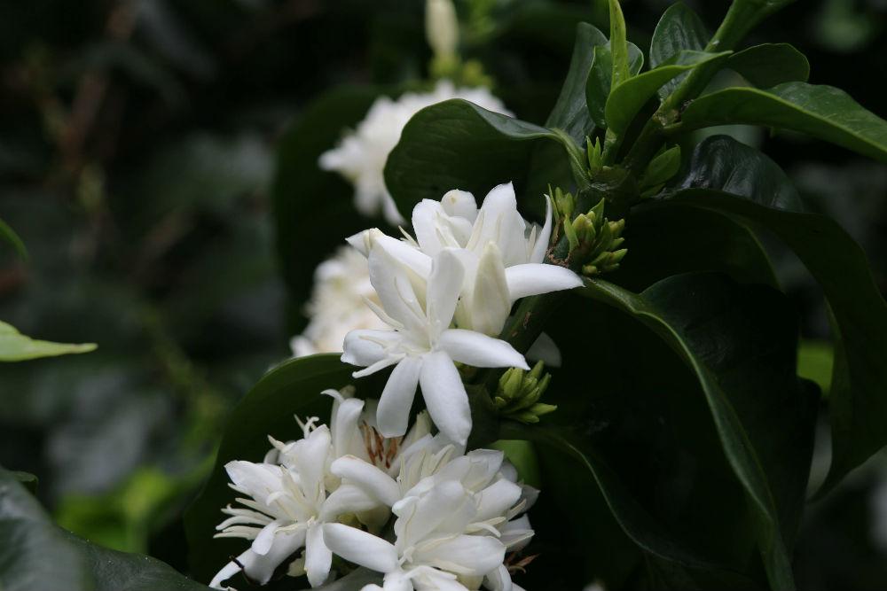 De wonderbaarlijk mooie bloem van de koffieplant